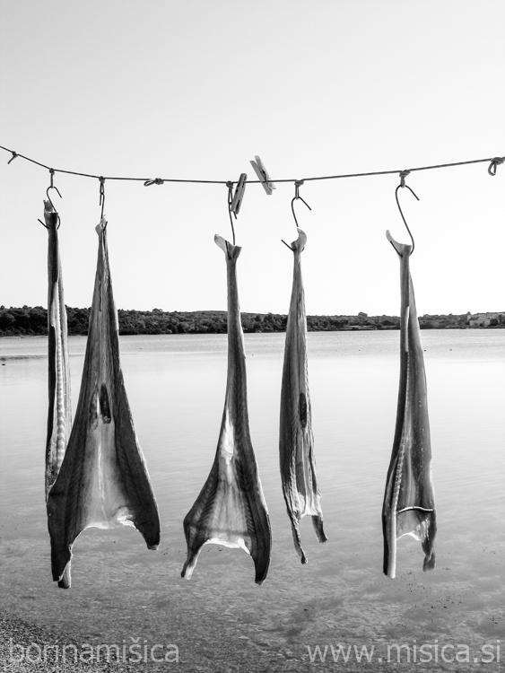 BorinaMisica-Sharks